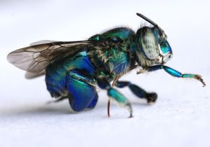 Euglossine Bee