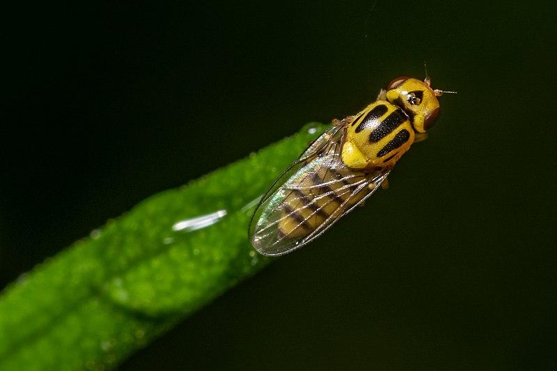 Frit Fly