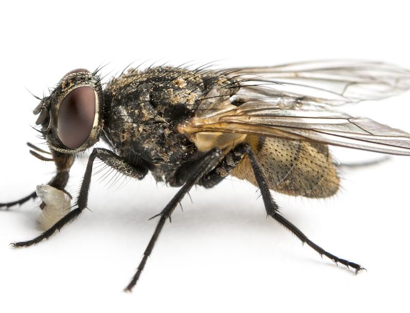 Humpbacked Fly