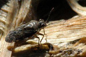 Shore Bug