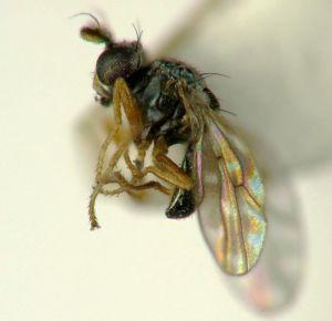 Shore Fly