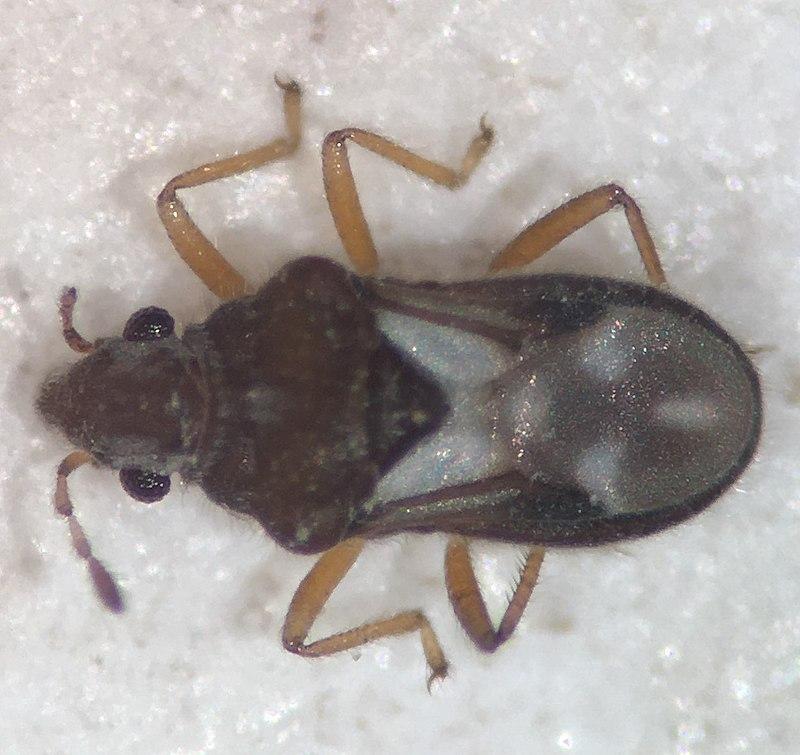 Velvet Water Bug